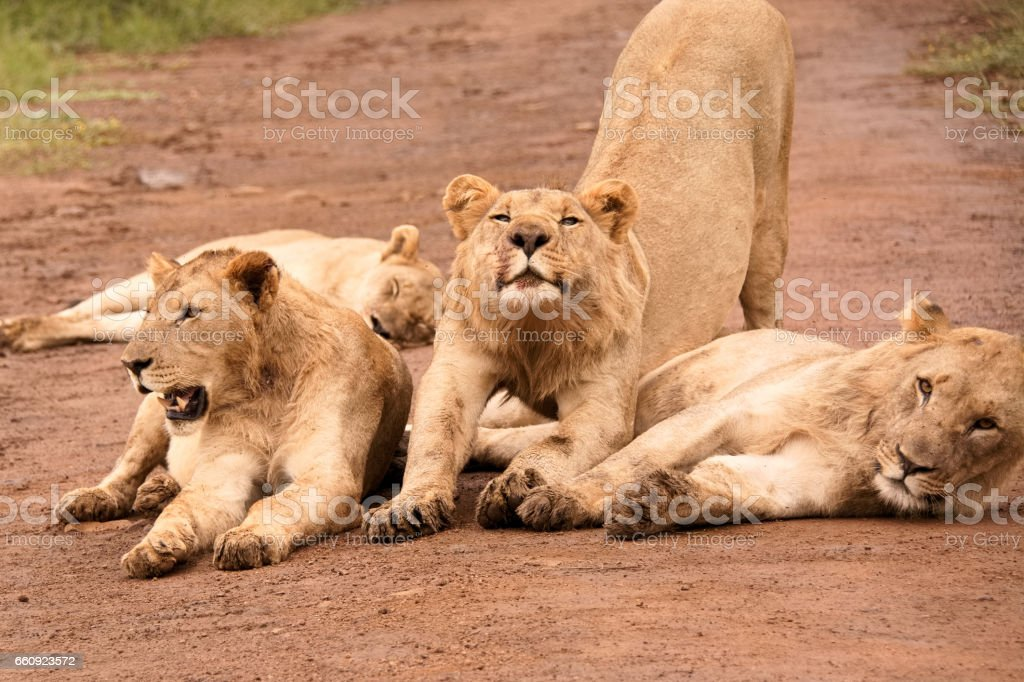 Three sub-adult African male lions stock photo