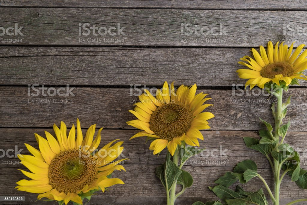 Three sunflowers are arranged in ascending order on the old wooden background. Growth and development concept. stock photo