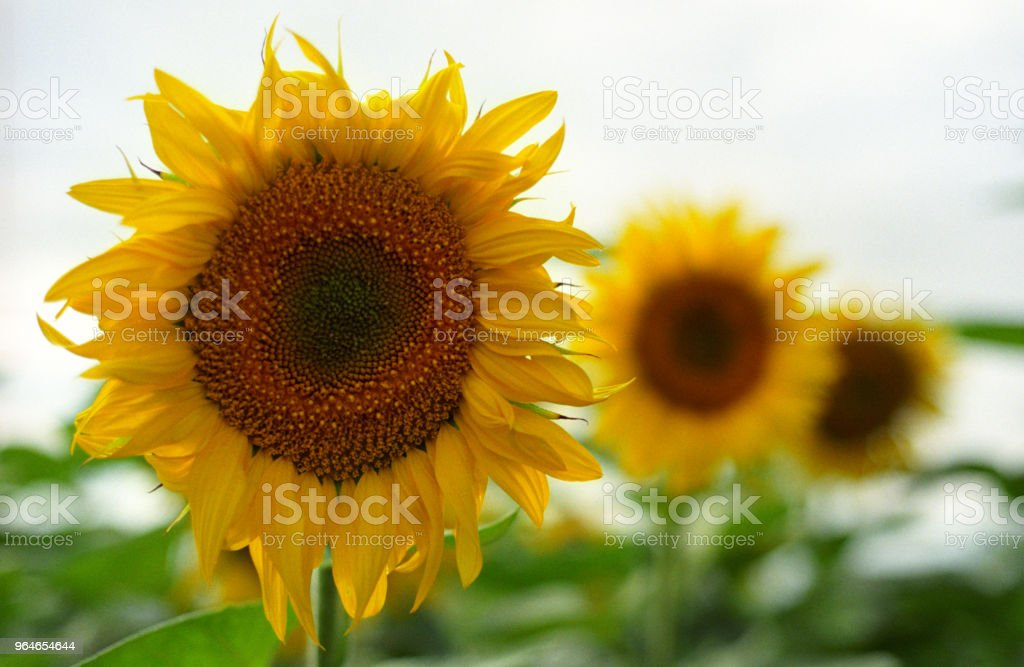 Three sunflowers in perspective. Shot on film royalty-free stock photo