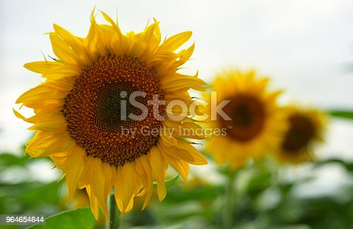 Three Sunflowers In Perspective Shot On Film Stock Photo & More Pictures of Beauty