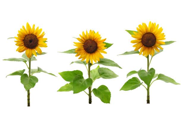 drei sonnenblumen isoliert auf weißem hintergrund - sonnenblume stock-fotos und bilder