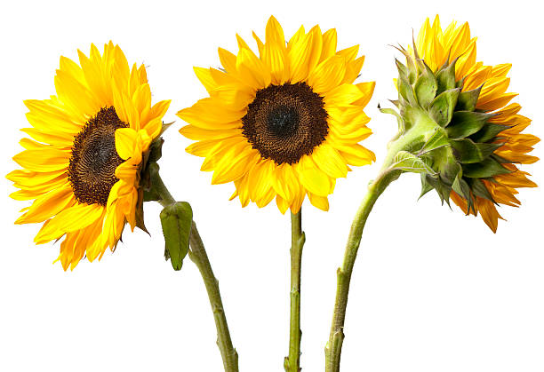 three sunflowers isolated on white - sunflower stok fotoğraflar ve resimler