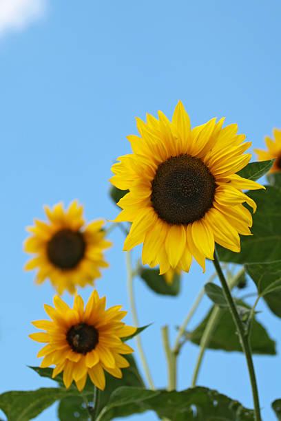drei sonnenblumen - gblu stock-fotos und bilder