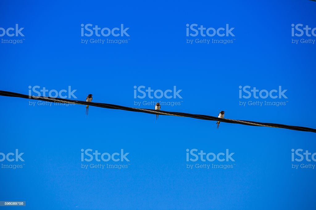 Three swallows sitting on the wire royalty-free stock photo