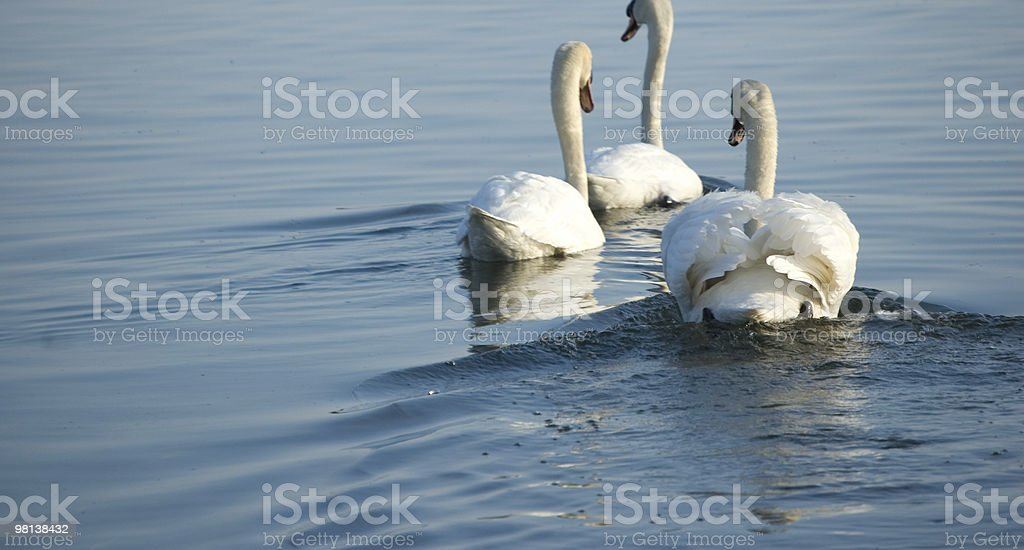 Three swans, departure royalty-free stock photo