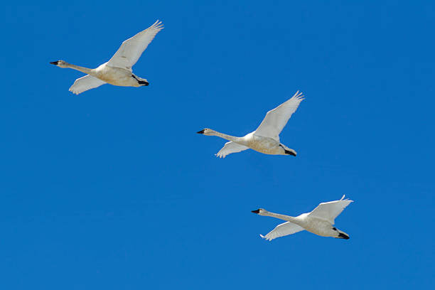 Three swans flying in the sky. stock photo