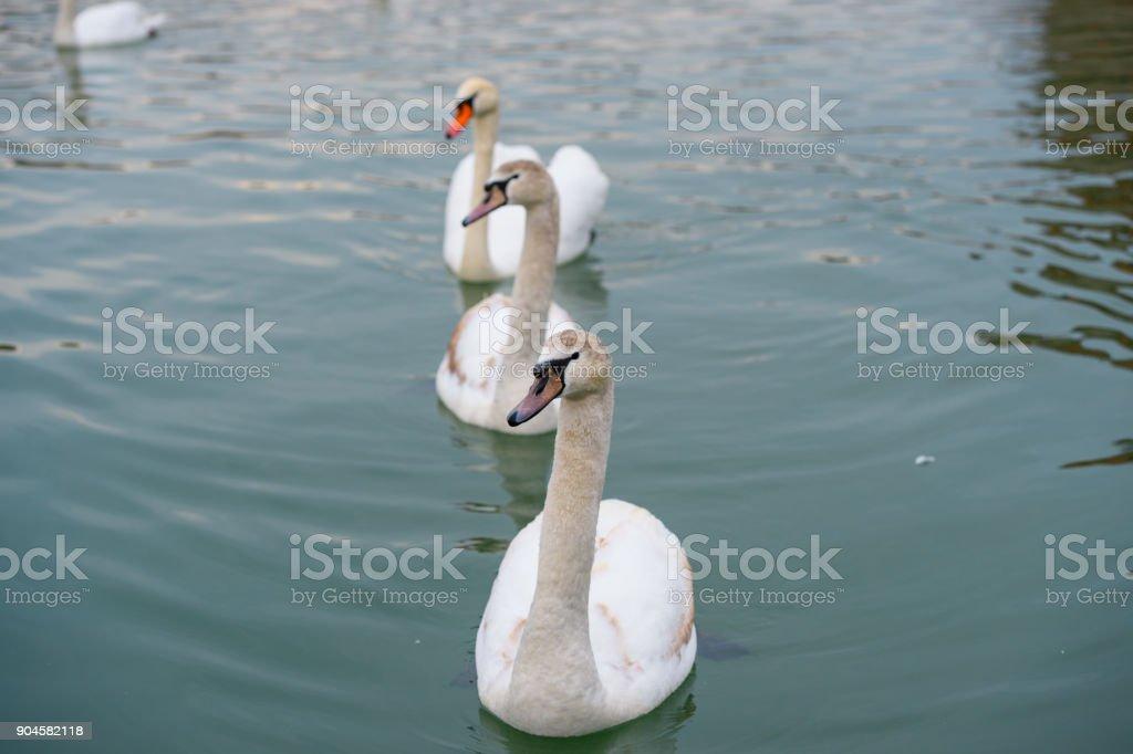 Three Swans In Row stock photo
