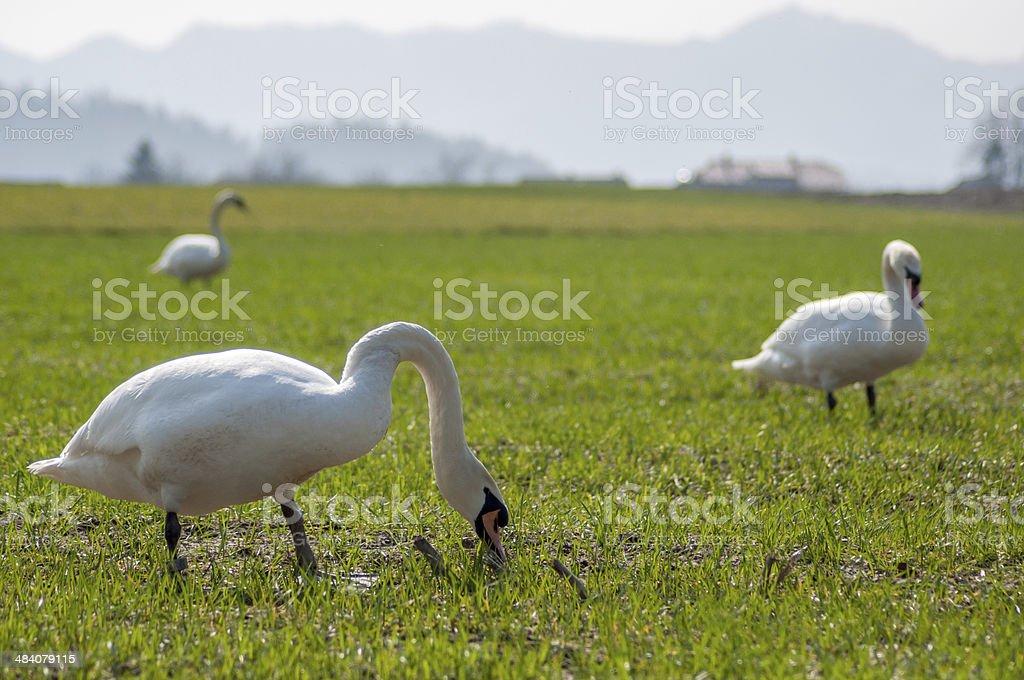 Three swans on grass stock photo