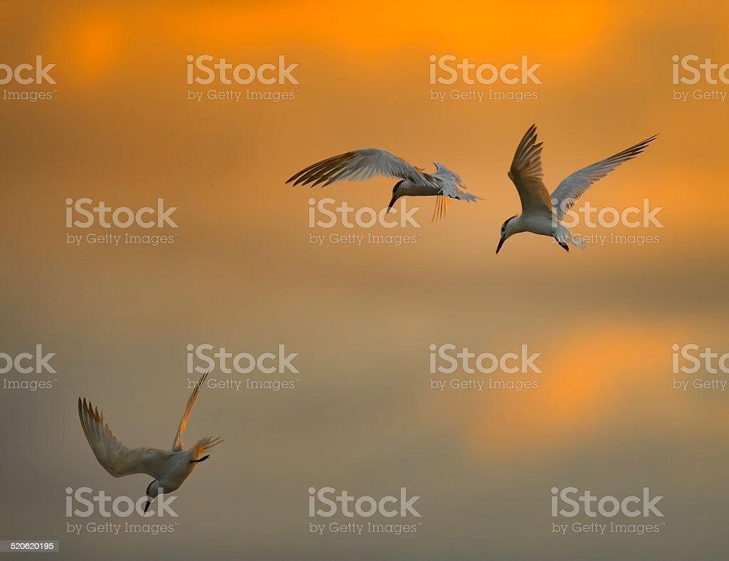 Three Terns stock photo