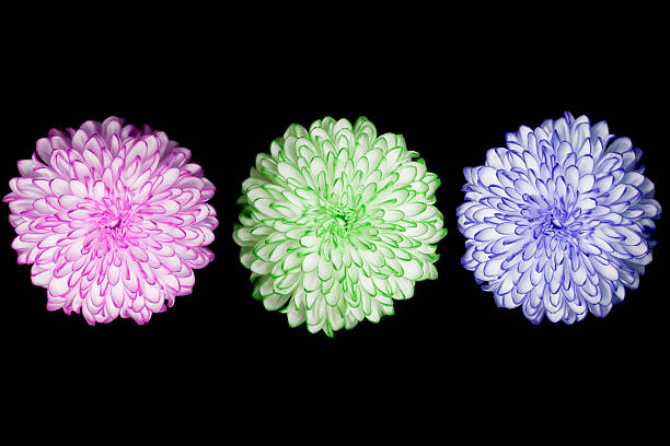 three times annealed Chrysanthemum on black background stock photo