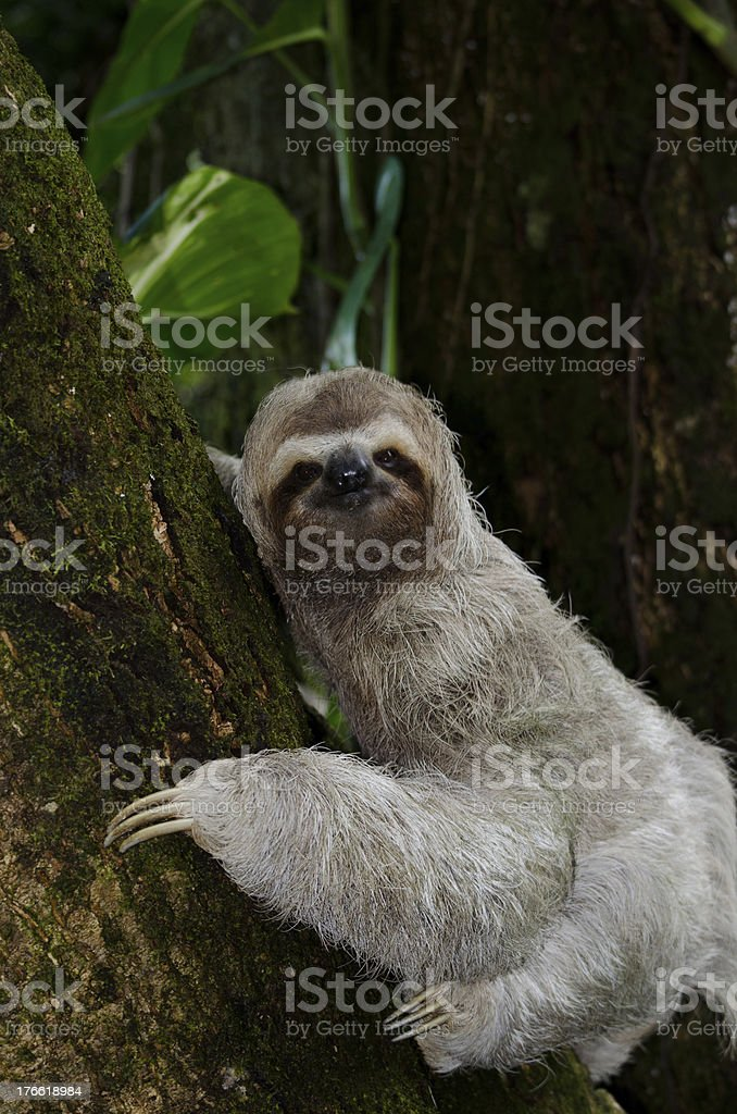 Three Toed Sloth Climbing A Mango Tree royalty-free stock photo
