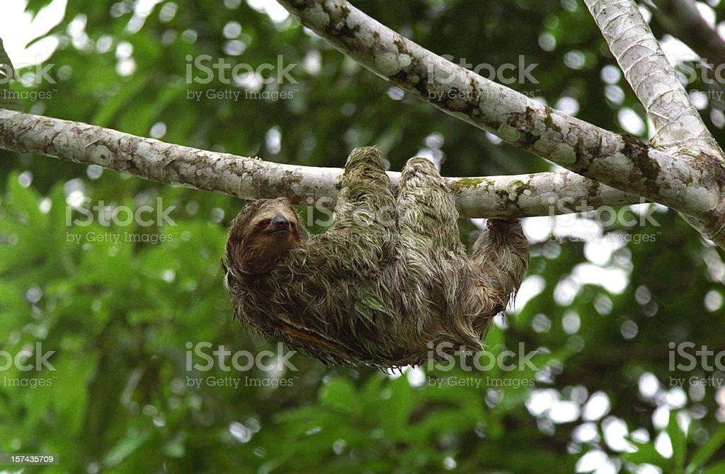Three Toed Sloth Climbs in Costa Rica stock photo