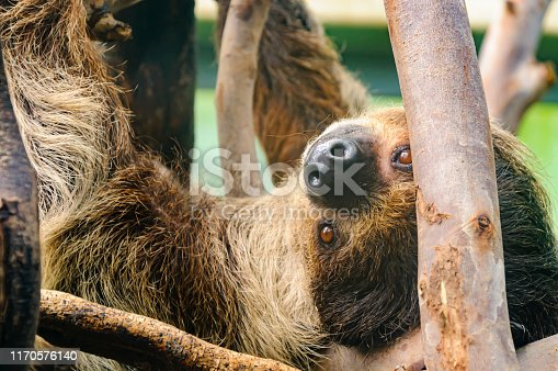Three toed sloth hanging upside down from some branches.