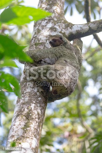 A three toed sloth climbs in a tree in the Costa Rica rainforest.