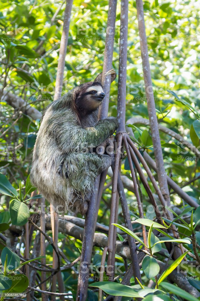Three Toed Sloth Side Angle Climbing Tree stock photo