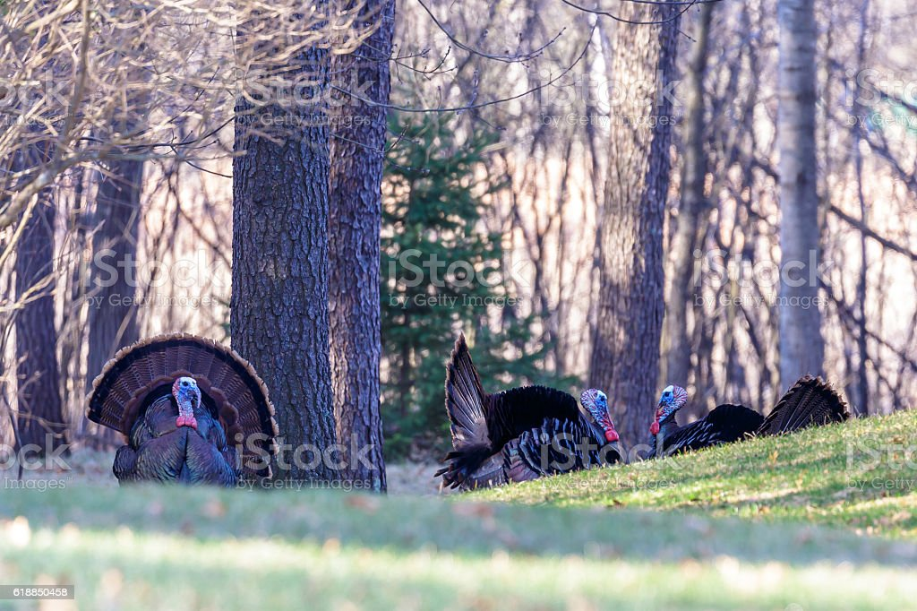 Three Tom Turkeys stock photo