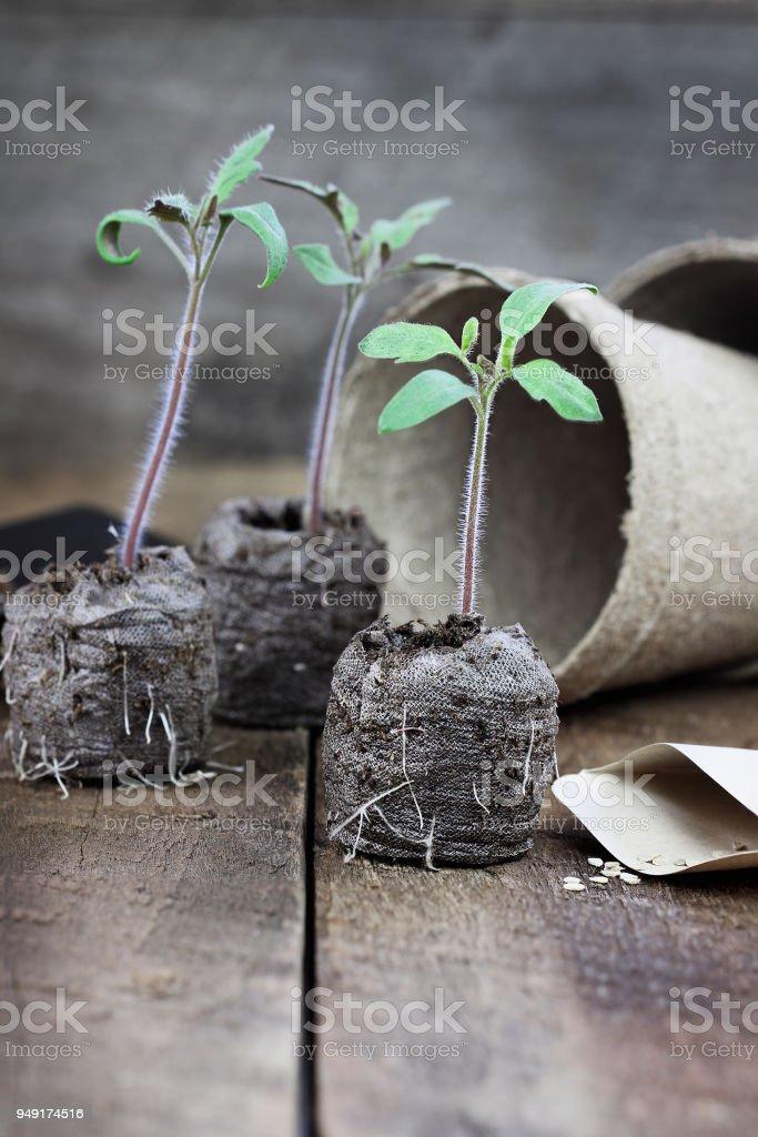 Three Tomato Seedlings stock photo