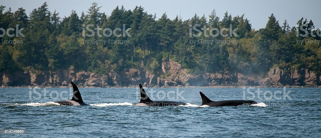 Three Transient Orcas stock photo