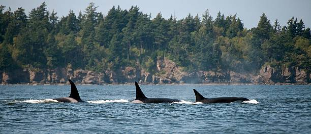 Three Transient Orcas Killer Whales off the San Juan Islands puget sound stock pictures, royalty-free photos & images