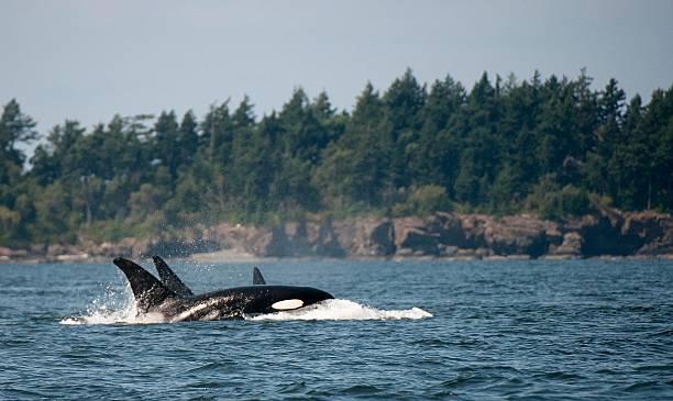 Three Transient Orcas stock photo