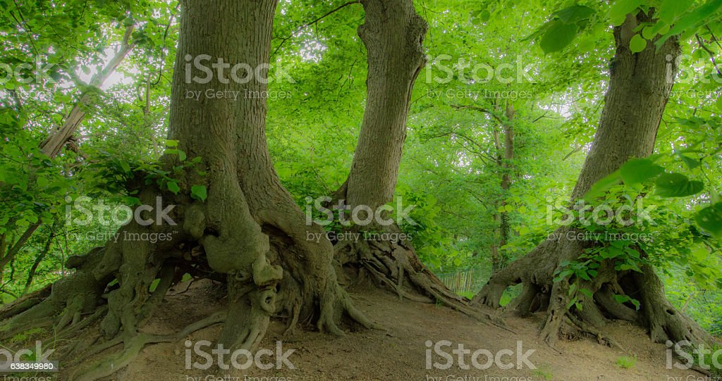 Three trees in a forest stock photo