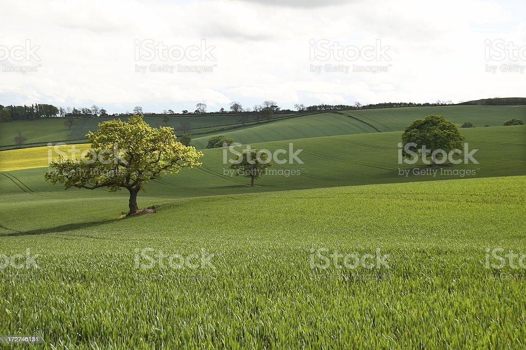 Three trees in rolling farmland royalty-free stock photo