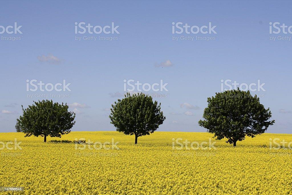 Three Trees in Yellow Field stock photo