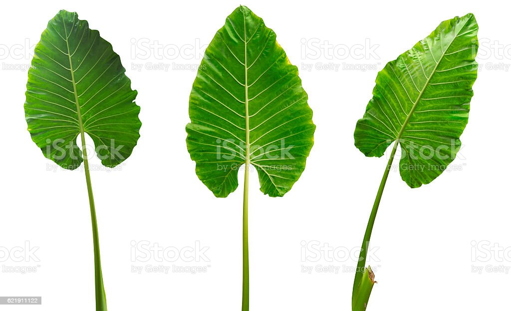 Three tropical leaves isolated on white background with clipping path stock photo