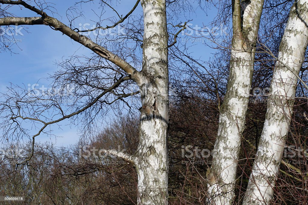 Three silver birch trees Betula pendula bare in winter stock photo