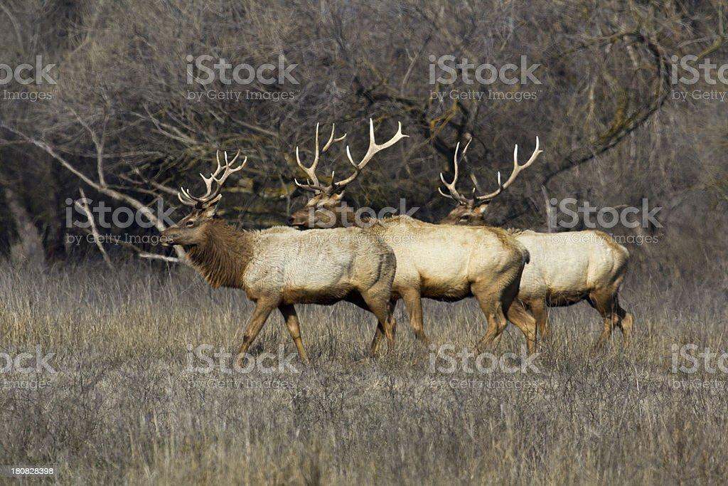 Three Tule Elk at San Luis NWR stock photo