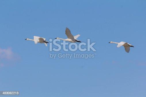 Tundra Swans fly across a blue sky at Bear River Migratory Bird Refuge.