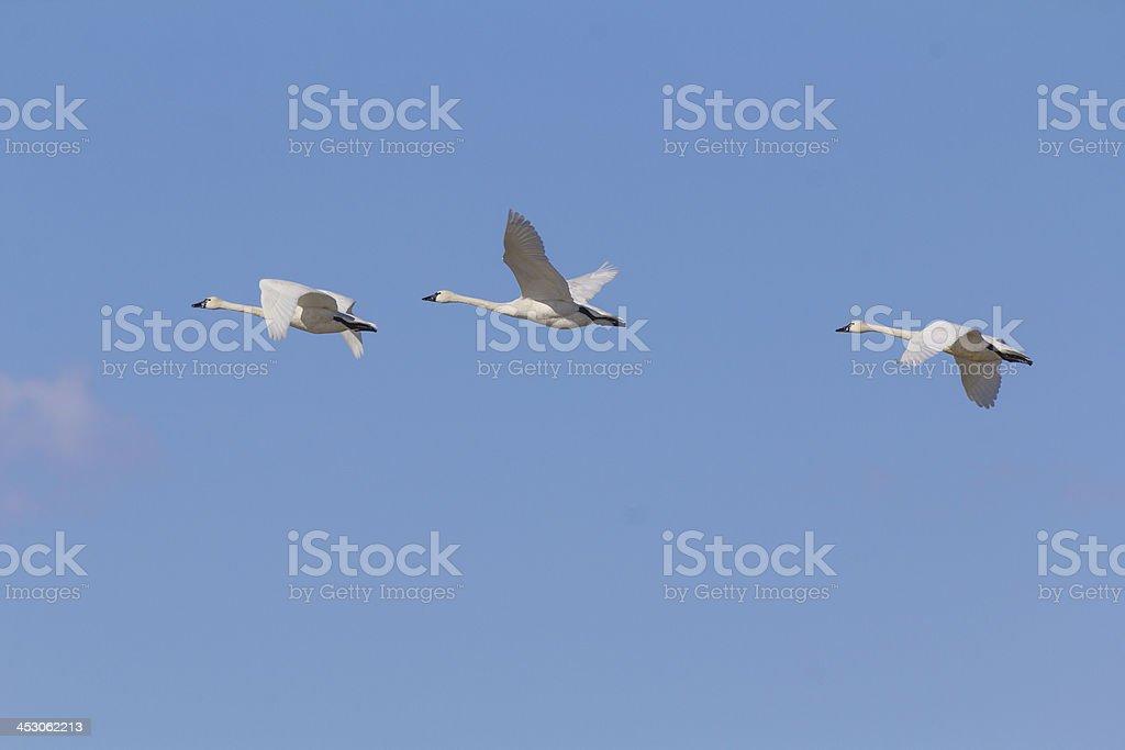Three Tundra Swans flying stock photo