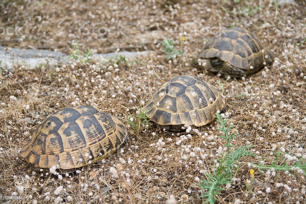 three turtle stock photo