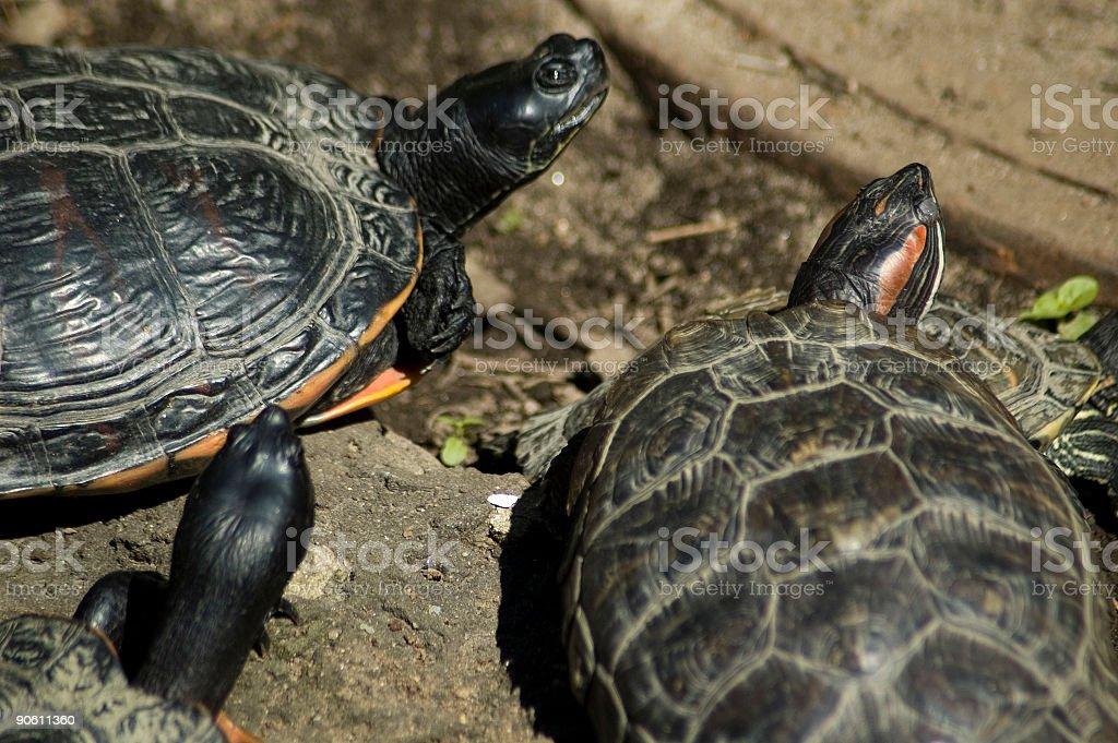 Three Turtles royalty-free stock photo