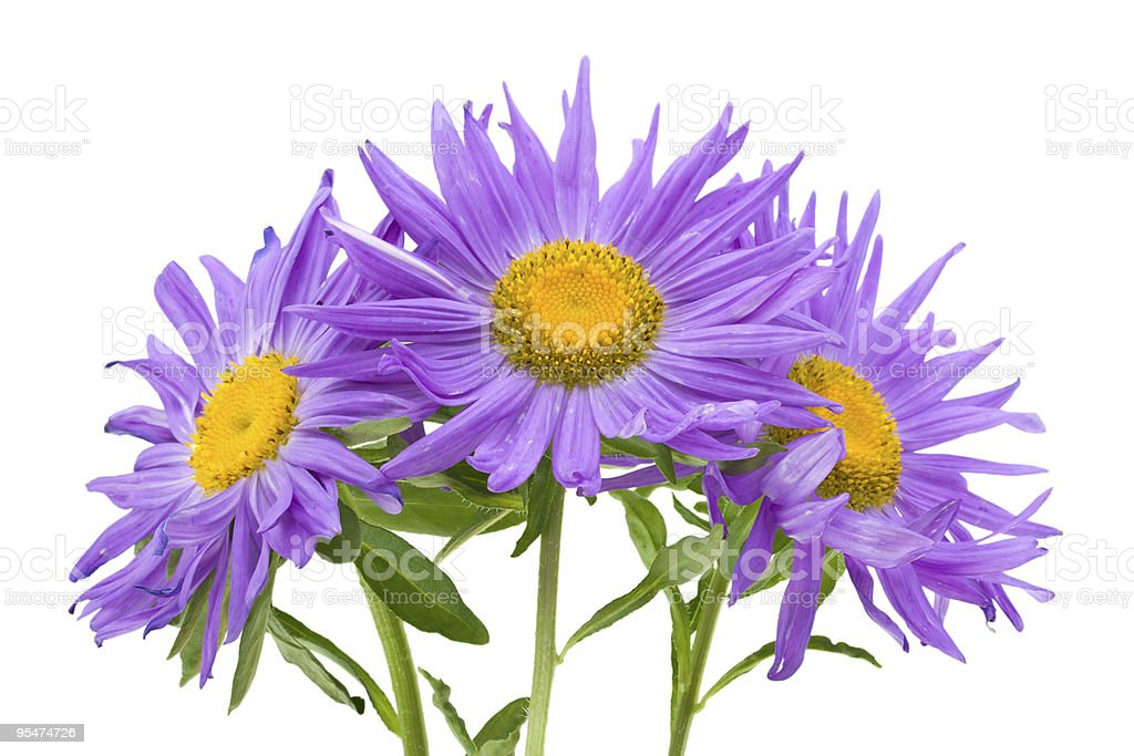three violet asters stock photo