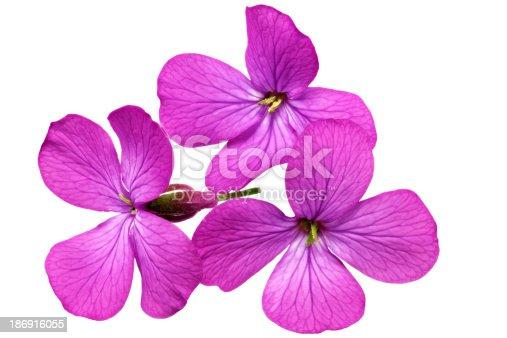 Beautiful violet red dahlia flowers.Closeup.
