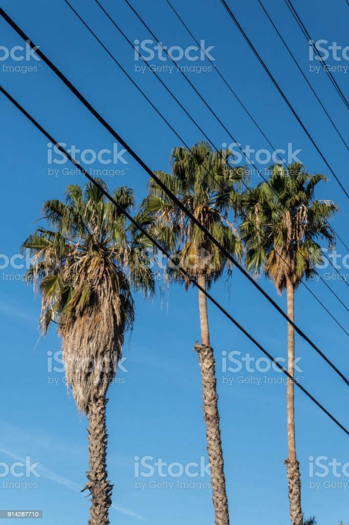 Three Washingtonia Fan Palm Trees Viewed Through Electrical Wires ...