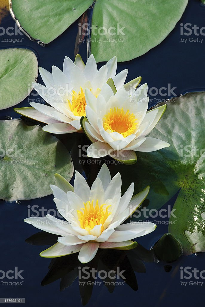 Three water lilys royalty-free stock photo