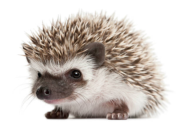A three weeks old Four-toed hedgehog with white background stock photo