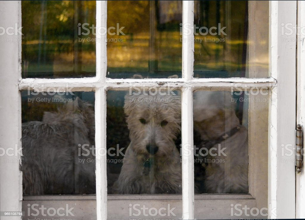 Three Westie Dogs staring out door window With Chipped Paint zbiór zdjęć royalty-free