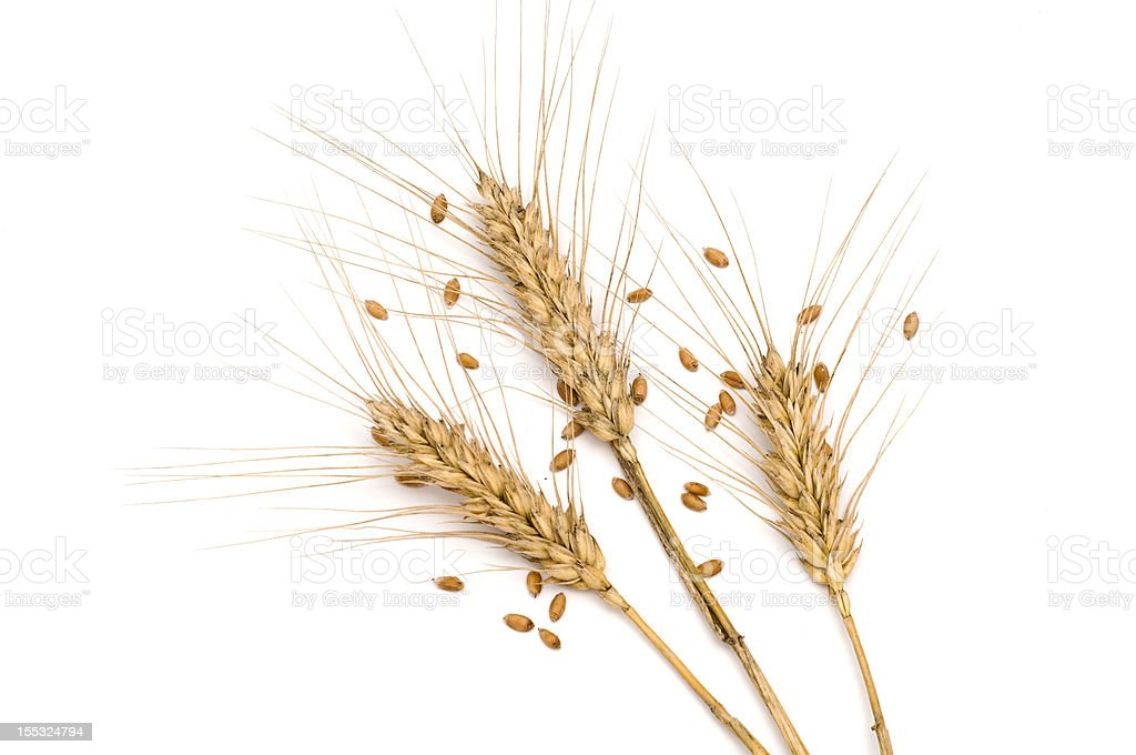 Three wheat spikes with seeds stock photo