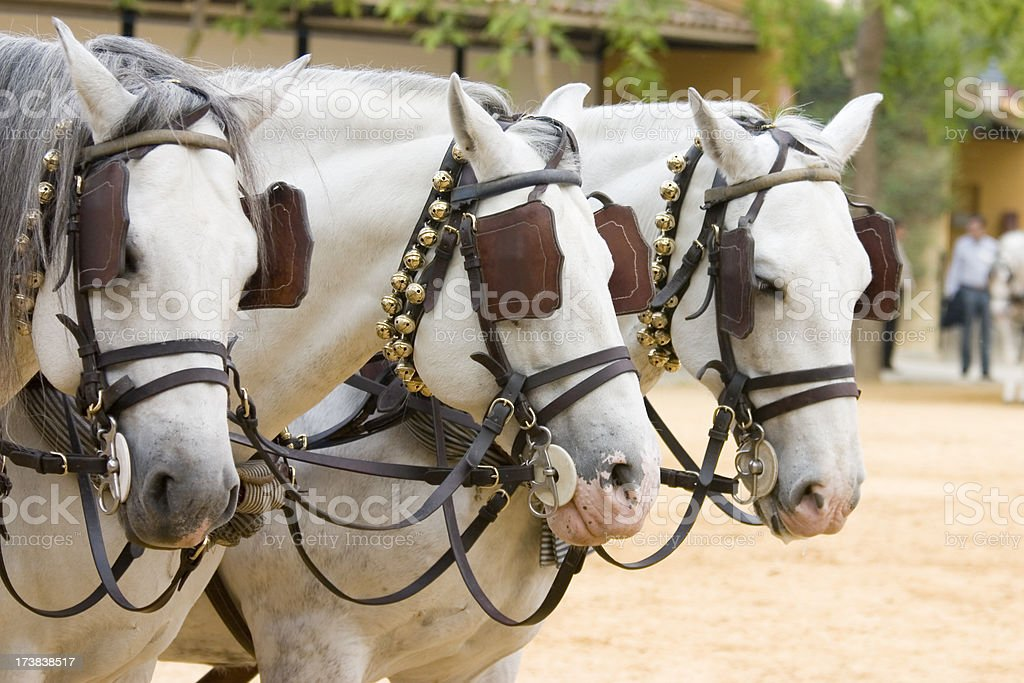 Three White Andalusian Horses stock photo
