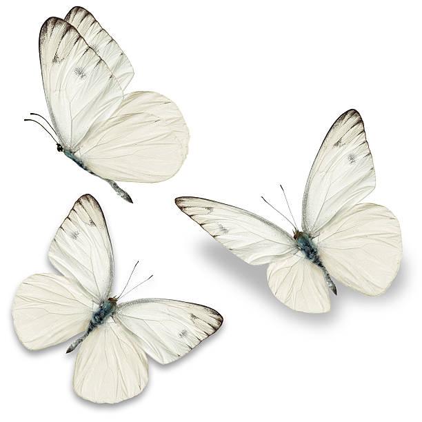 Three white butterfly picture id479246624?b=1&k=6&m=479246624&s=612x612&w=0&h=ryxpxd0mxfx8cn3uae88xq3jcauzbzcgyqpiwsbiejy=