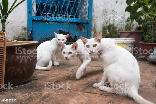Three white cats sitting on street two of them has heterochromia on picture id916837630?b=1&k=6&m=916837630&s=612x612&h=y 51d2obrrx7xsnlfdx uzhusdaoxr1wni3atyxl2 e=