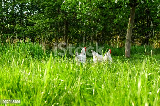Three white chickens in the meadow in the sunshine