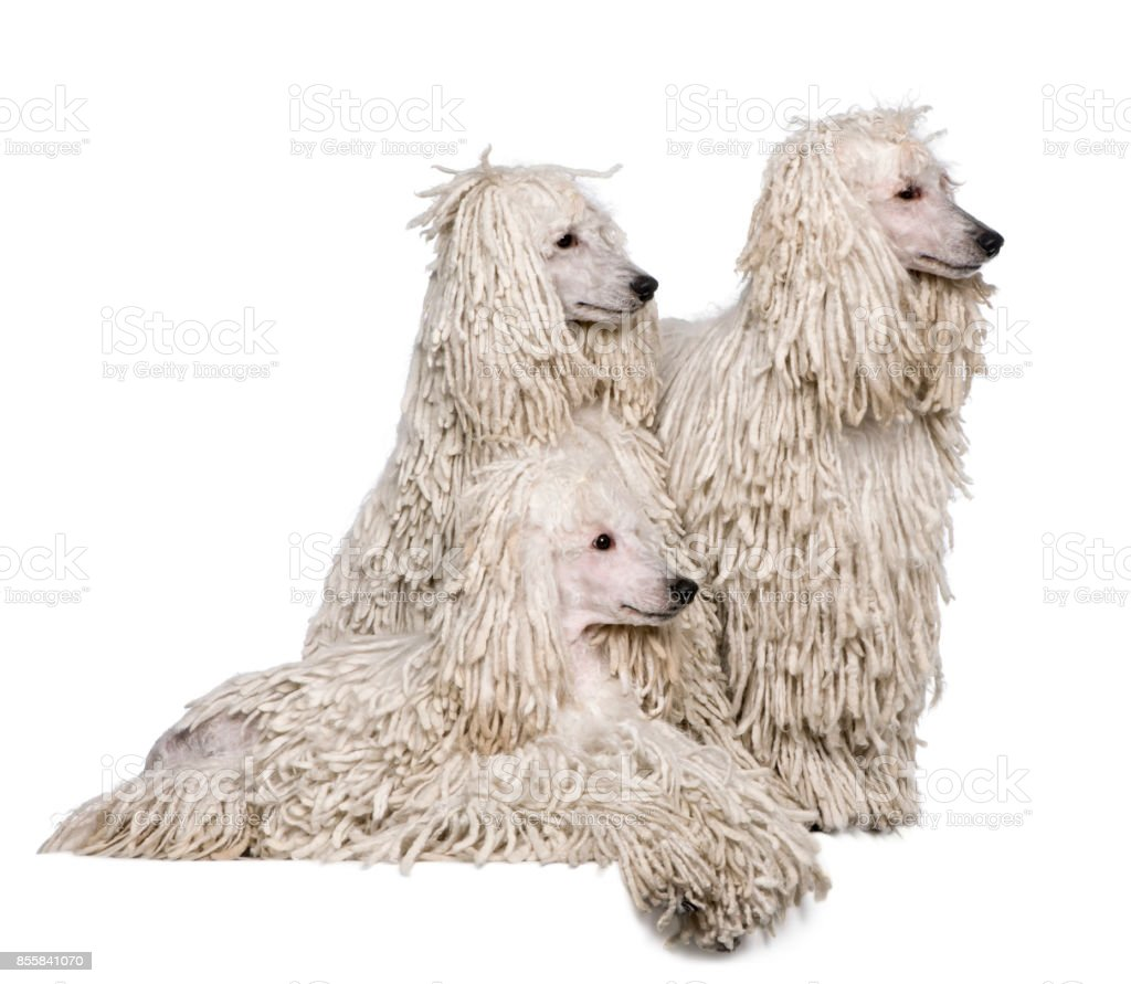 Three White Corded standard Poodles in front of white background stock photo