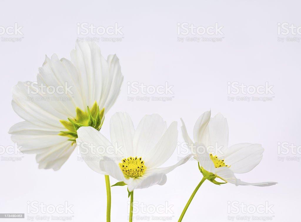 Three white cosmos flowers royalty-free stock photo