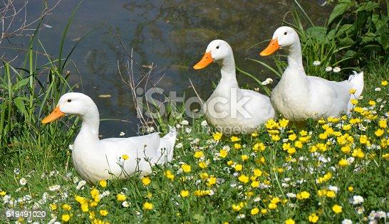 istock three white ducks  in springtime 519491020