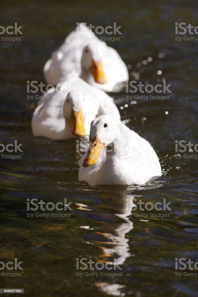 Three White Ducks Swimming Single File stock photo