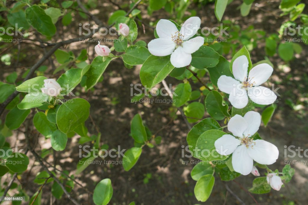 Three white flowers and three pink buds of quince stock photo